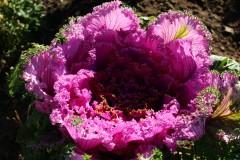 Оптинская осенняя роза...