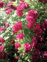 Розы в Оптине