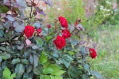 Мы в нежных розах ценим аромат, в их пурпуре живущий сокровенно...
