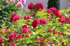 И день сиял, и млели розы, головки томные клоня...