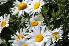 Оптинское лето: ромашки и бабочка