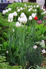 Утончённые белые тюльпаны