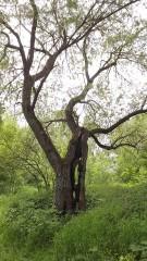 "Дерево ""Спрут"""