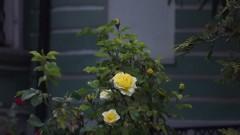 Вечерняя роза