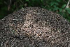 Одна из муравьиных колоний