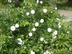 Цветы Оптиной...