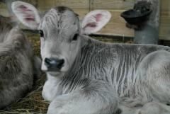Полосатый теленок, появившийся на свет в Рождественскую ночь