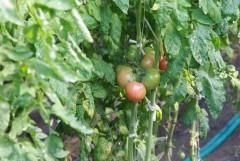 Некоторые местные овощи