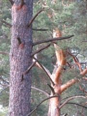 Лесные ёжики