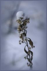 Зимняя былинка