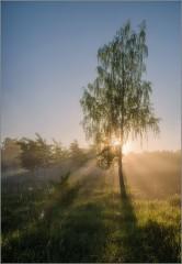 Одинокая береза в утреннем свете ( Снимок сделан 21 мая 2014 г.)