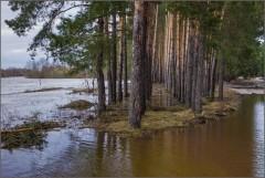Сосен стройные ряды в водном плену ( Снимок сделан 21 апреля 2013 г.)