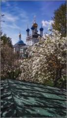 Лепестки цветущих яблонь (снимок сделан 14 мая 2015 г.)