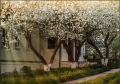Белый цвет яблонь ( Снимок сделан 13 мая 2013 г.)