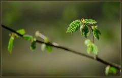 Нежность весенней листвы ( 6 мая 2013 г.)