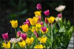 Тюльпановое ассорти ( снимок сделан 12 мая 2013 г.)