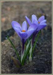 Крокусовый дуэт ( 18 апреля 2013 г.)