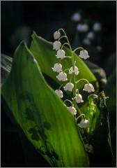 Нежный ландыша цветок ( Снимок сделан 21 мая 2014 г.)