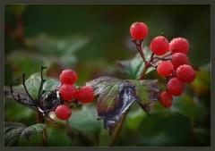 Зрелые ягоды ( 17 сентября 2012 г.)
