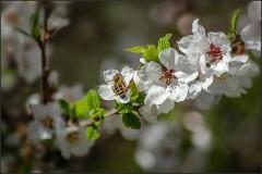Нежность весенних цветов ( Снимок сделан 7 мая 2013 г.)