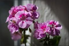 Цветы герани ( Снимок сделан летом 2013 г.)