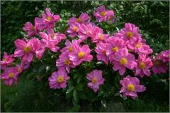 """Пионовый куст """"Розовая башня"""" ( Снимок сделан 11 июня 2012 г.)"""