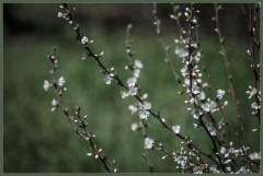 Нежный цвет весны ( 7 мая 2013 г.)