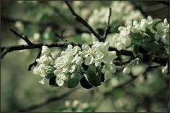 Вспоминая весну ( Снимок сделан 11 мая 2013 г.)