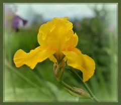 Желтый ирис ( 14 июня 2012 г.)