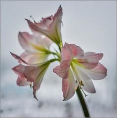Нежные цветы гиппеаструма ( Снимок сделан 1 января 2013 г.)