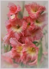 Нежный цветок гладиаторов