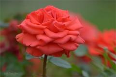 Розовое благолепие (снимок сделан 10 июля 2012 г.)