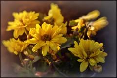 Желтые хризантемы ( 14 октября 2012 г.)