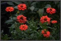 Цинния – красочная палитра цветов ( 2 сентября 2012 г.)
