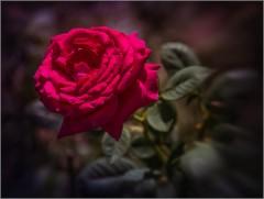 Шелковые лепестки цветущей розы (снимок сделан 19 августа 2014 г.)