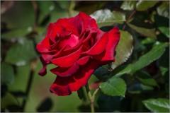 Розовый атлас ( Снимок сделан 22 августа 2013 г.)