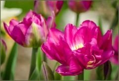 Махровые тюльпаны_2 ( снято 10 мая 2013 г.)