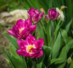 Махровые тюльпаны ( 10 мая 2013 г.)