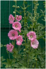 Розовые мальвы-цветы утешения и настроения