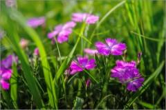 Цветок полей ( Снимок сделан 19 июня 2013 г.)