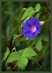 Яркий цветок ипомеи ( 7 сентября 2012 г.)