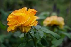Солнечная роза ( Снимок сделан 26 августа 2013 г.)
