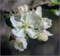 Первый яблоневый цвет (снимок сделан 7 мая 2015 г.)