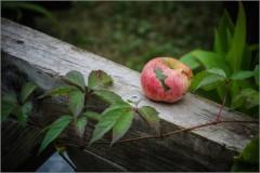 Последнее яблоко (снимок сделан 19 сентября 2013 г.)