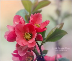 Нежное цветение айвы (снимок сделан 10 мая 2015 г.)