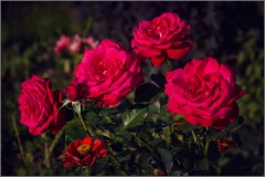 Одна среди роз (снимок сделан 21 сентября 2015 г.)