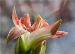 Будто языки огня, гиппеаструма цветенье ( 28 февраля 2013 г.)