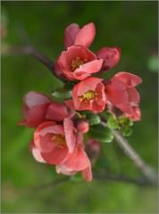 Цвет айвы (снимок сделан 10 мая 2015 г.)
