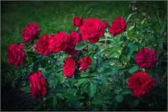 Этапы жизненного цикла розы ( Снимок сделан 28 августа 2014 г.)