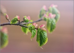 Рождение липовых листочков (снимок сделан 6 мая 2014 г.)